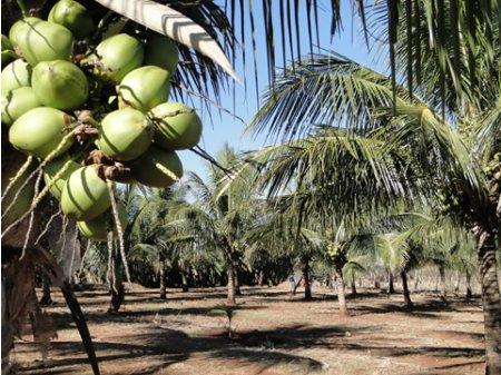 COCO DA BAHIA